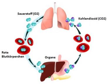 Gasaustausch Lunge CO-CO2